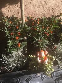 2016-1226-01 Orange tree.jpg